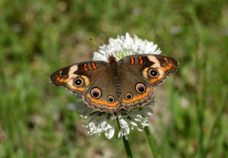 Close-up of a beautiful common buckeye butterfly as it sips nectar from a white puffball wildflower in a green country field.