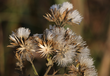 Close-up of dead unknown wildflowers with fluffy white dried blooms as they seem to glow in the early morning light.