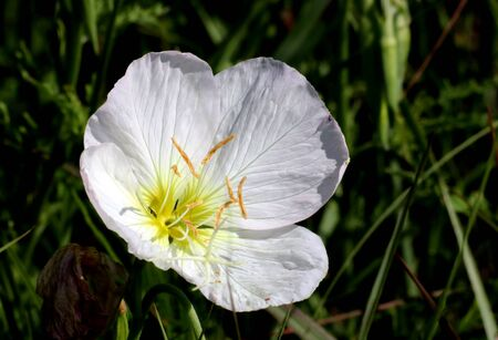 Close-up of a beautiful white evening primrose wildflower as it blooms in a green grassy field in afternoon light.