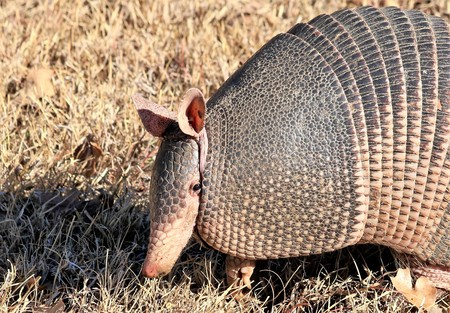 Close-up of a nine-banded armadillo as it is hunting for ants or bugs in the brown grass.