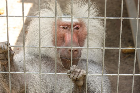 Close-up of a Hamadryas baboon with his hands holding onto the cage door as he looks out.