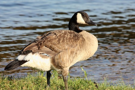 A Canada goose is standing in the grass at the edge of a blue lake.