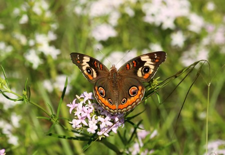 A buckeye butterfly, with wings spread open, on white wildflowers in a green country field. Stock Photo