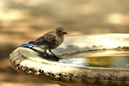A juvenile blue jay standing at the edge of the water of a bird bath, with a blurred golden background.