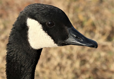 Profile head shot of a Canada goose on a light brown blurred background.