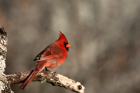 Male cardinal bird perched on a tree branch on a gray winter background.