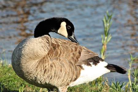 Close-up of a Canada goose standing on the grassy shore of a lake, looking over it's back.