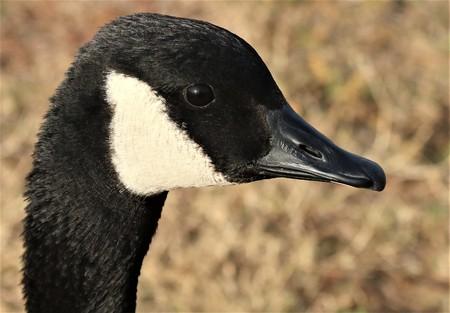 Head shot profile of a Canada goose. Banco de Imagens
