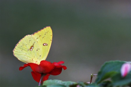 Close-up of a cloudless sulphur butterfly sipping nectar from a red impatiens flower, with room for text. Stock Photo
