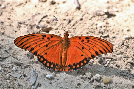 Close-up of an orange gulf fritillary butterfly, with wings spread,  on white sandy ground.