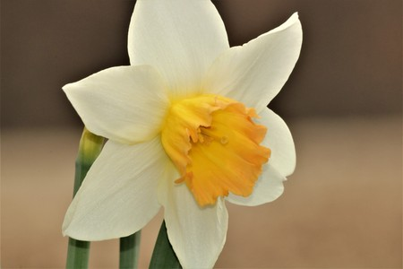 Close-up of a white daffodil with a yellow center on a blurred brown background. Stock Photo