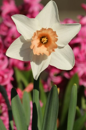 Close-up of a white tulip with a peach colored center, with green leaves and pink hyacinth in the background.