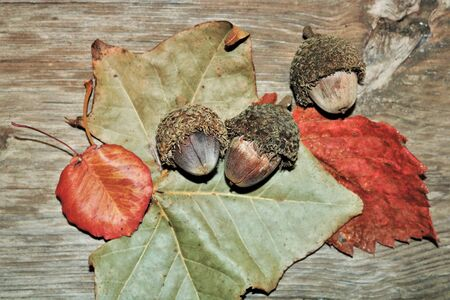 Top view of three bur acorns lying on red and green autumn leaves, on a wood grain background.