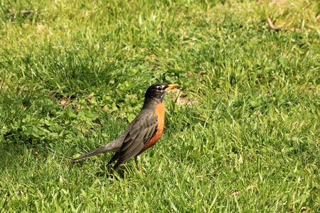 An American robin bird standing in the green grass of a spring meadow.