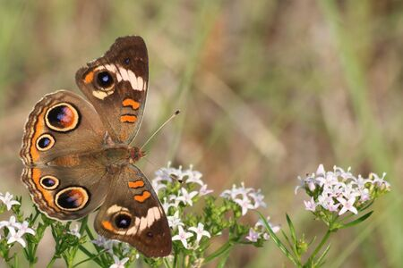 Close-up of a common buckeye butterfly, with wings spread, on white wildflowers, with room for text. Stock Photo