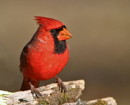 Close-up of a bright red male Northern Cardinal, perched on a mossy tree branch with a seed in it's beak, on a softly blurred brown background.