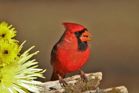 Bright red male Northern Cardinal perched on a moss covered tree branch with a yellow chrysanthemum flower and a seed in his beak. Stock Photo