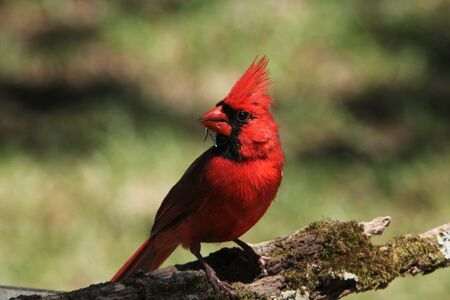 Close-up of bright red male Northern Cardinal bird, with crest erect, perched on a moss covered tree branch, on a softly blurred green background.
