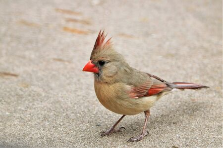 Close-up of a female Northern Cardinal standing on a cement walkway.