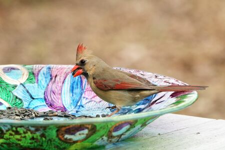 A female Northern Cardinal on the side of a colorful bird feeder, with a seed in it's beak.