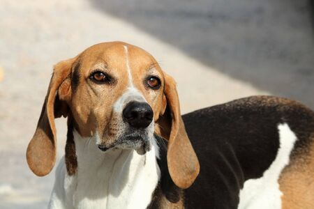 Close-up of an American foxhound dog, with a sad face, looking into the camera.
