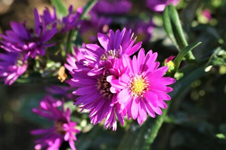 Close-up of purple aster flower blooms, in dappled light.