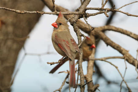 Close-up of a female northern cardinal bird, perched on a tree branch, in early spring. Stock Photo