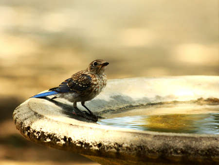A young blue jay bird is perched on the edge of a bird bath, drinking water, with a gold bokeh background. Stock Photo