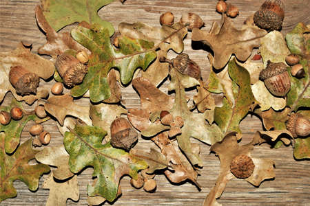 Top view of green and brown autumn oak leaves and acorns scattered on a wood grain background. Stock Photo