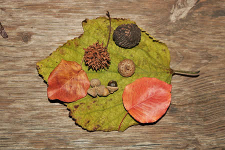 Top view of green and orange autumn leaves with acorns, sycamore seed pod and walnut, on  wood grain background.