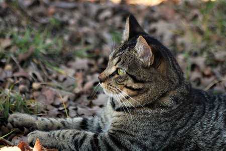 Profile portrait of a gray tabby cat lying on leaf covered ground.
