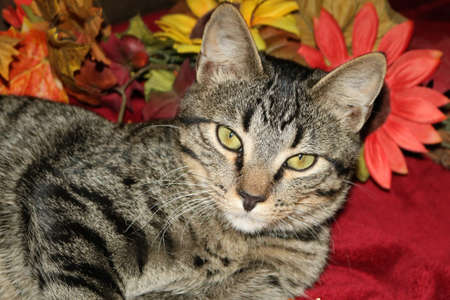Close-up portrait of a gray tabby cat, lying on a red blanket, with fall flowers in the background.