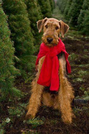 perros vestidos: Airedale Terrier en el campo de �rboles de Navidad Foto de archivo