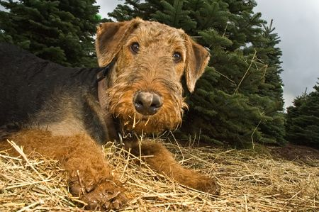 muddy: Playful, muddy airedale terrier