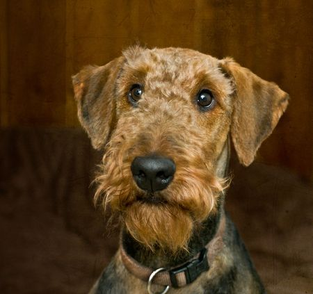bearded wire: Innocent looking dog