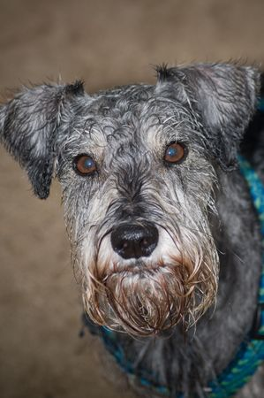 bearded wires: Miniature schnauzer dog close up Stock Photo