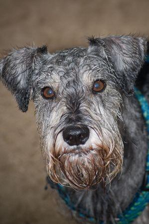 bearded wire: Miniature schnauzer dog close up Stock Photo