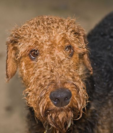 waits: A sad, wet airedale terrier waits at the door to be let inside