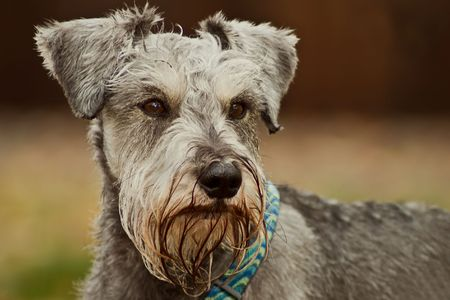 Miniature schnauzer dog posed outdoors.  Shallow depth of field. photo