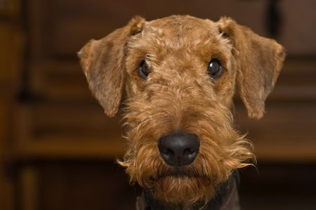 Innocent looking airedale terrier dog facing the camera in front of a wooden background inside. photo