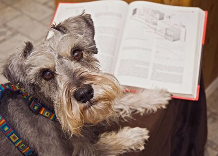 Gray miniature schnauzer dog reading a book