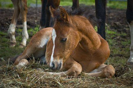colt: Young colt laying on a bed of straw