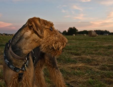 Airedale terrier dog looking back on a field of hay bales at sunset