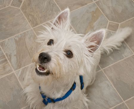 obedient: Obedient white west highand terrier sitting inside on a linoleum floor looking upwards at something. Stock Photo