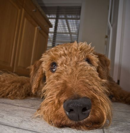Funny looking airedale terrier dog with silly expression looking up waiting for a treat