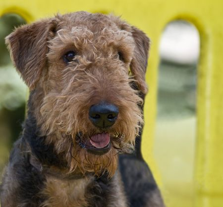 Airedale terrier dog outdoors at the park on a play structure photo