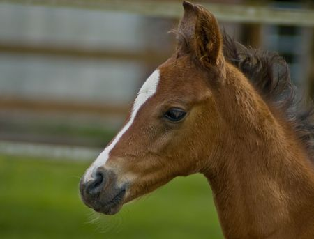 Quarter horse brown baby foal in profile Stock Photo