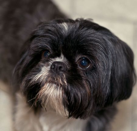 Portrait of a black and white shih tzu dog indoors photo