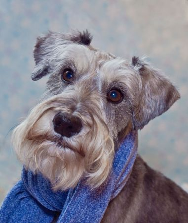 Miniature schnauzer dog wearing a blue scarf dressed for cold weather Stock Photo - 6161431