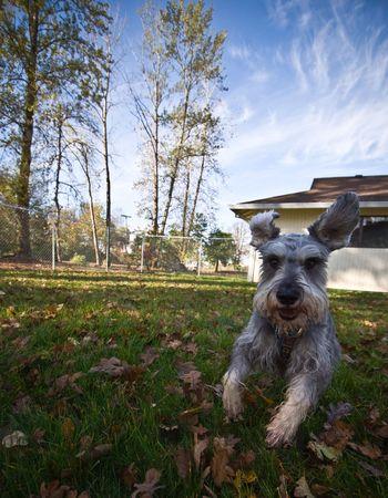 romp: Playful little gray dog outdoors